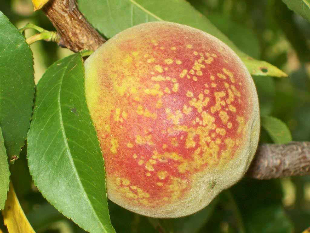 BACTERIAL SPOT: Bacterial spot is a devastating disease in peaches, and nectarines. It can also infect Japanese plum, almonds, apricots, pluots, and aprium. Symptoms limit yields and in some cases, 100% fruit loss has been observed.  (Photo credit: S. Bardsley)