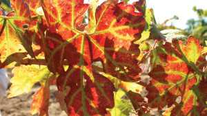 Pay Attention To Grapevine Leafroll Disease