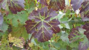 Combat Grapevine Leafroll And Tobacco Ringspot Disease