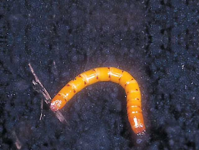 Keep Eyes And Ears Open For Corn Wireworms