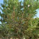 Lone Star, the new self-compatible almond variety from The Burchell Nursery, is a large, vigorous, somewhat upright tree. (Photo credit: The Burchell Nursery)