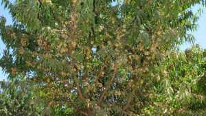 Self-Compatible Almond Tree Released