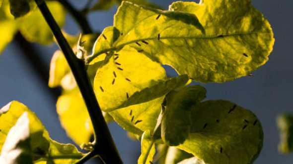 Citrus greening and psyllids