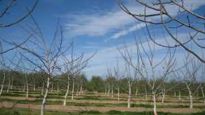 How To Train Young Walnut Trees