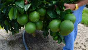 Florida Grapefruit Growers Feeling Good About Early Crop Forecasts