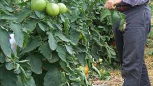 Farm Research Helps New York High Tunnel Tomato Growers With Leaf Mold