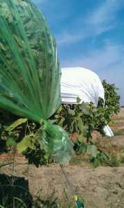 Green and white plastic rain covers on Red Globe table grapes in Fresno, CA. In studies, it appears green covers may delay fruit ripening and both covers may provide some protection from postharvest rots. (Photo credit: Matthew Fidelibus)