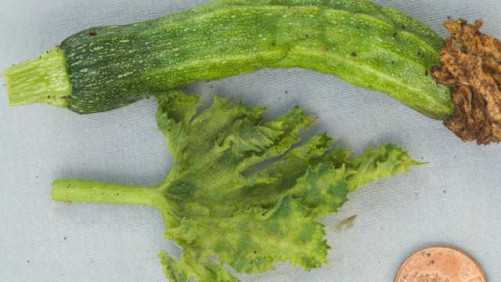 Drought May Cause Pest Migration To California Cucurbit Crops