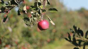 Products To Help Prevent Preharvest Drop In Apple Orchards