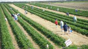 How U-Pick Farming Can Be A Sustainable Option For Your Operation