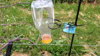 A bottle trap with ethanol lure should be hung at 2-3-foot height in the orchard and on the perimeter. (Photo credit: Elizabeth Tee, Cornell Cooperative Extension)