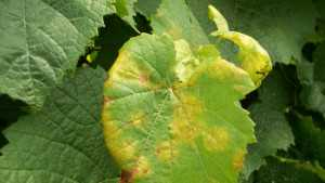 Downy Mildew Hits Finger Lakes Grapes