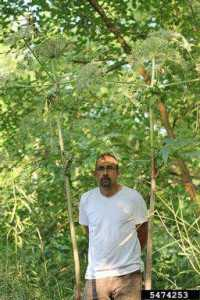 Giant hogweed grow up to 14 feet tall.  Photo credit: Rob Routledge, Sault College, Bugwood.org