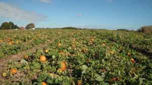 Of all the crops the Schachts have offered in their U-Pick operation, pumpkins are by far the easiest and safest for the customers to pick.