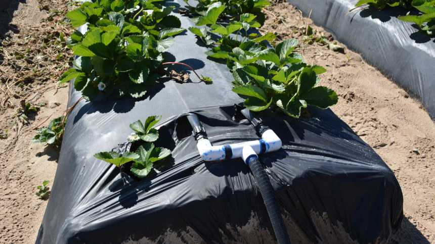 How to Match Drip Irrigation to Improve Berry Water Management