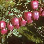 First Scarlet Spur apples produced in Yakima, WA. The original Scarlet Spur apple was found as a sport limb in an orchard formed by Bill Evans and Don Snipes in 1975 and developed by Van Well Nursery. (Photo courtesy of the Evans family).