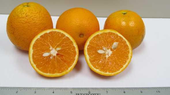 OLL-4 juice orange variety