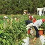 Farmworkers picking tomatoes