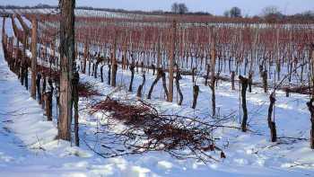snow vineyard grapes winter
