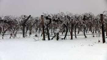 Snow-covered grape vineyard