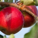 MN #1955 apple.