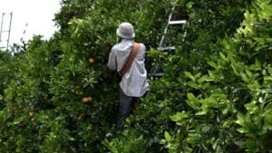 Be Mindful Of Worker Safety During Citrus Harvest