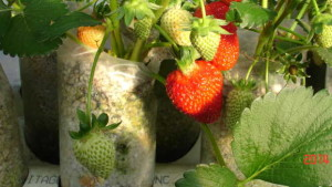 High Tunnels, Small Farms, And Strawberries