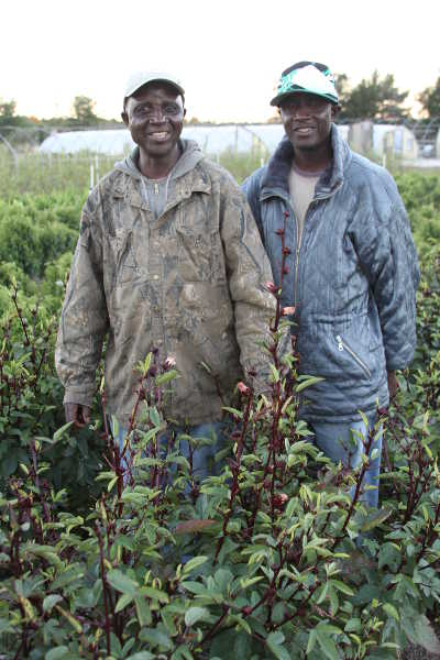 Morris Gbolo (left) and son, James, are getting ready to  harvest Roselle, which is a species of Hibiscus native to West Africa. Photos courtesy of Rick VanVranken