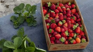 Study Suggests Florida Strawberry Growers Pick Earlier To Pump Up Profit