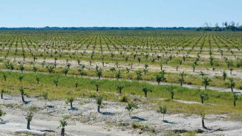 young Florida citrus grove
