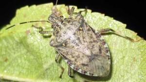 Stink Bug Predator Found In U.S.