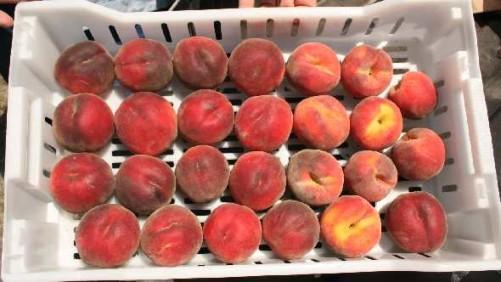 Florida Peach Marketing Order Fails