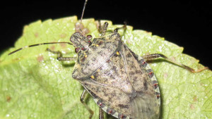 Sustainable Options For Controlling Brown Marmorated Stink Bug In Vegetables