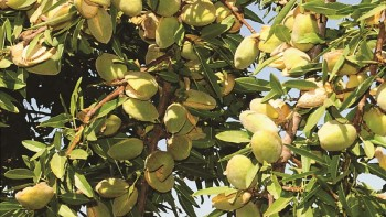 The Supareil Almond has the potential to earn up to 20% more dollars per pound. The Supareil pollinates Nonpareil, Carmel, Aldrich, Fritz, Sonora, Price and Wood Colony and harvests early, 10-14 days after Nonpareil. Its large kernel resembles Nonpareil in shape, color and taste and has a well-sealed, worm-resistant shell. (USPP#21,934)