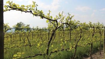 Finger Lakes vinyard