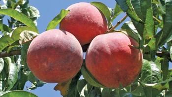 PF 24-007, Flamin' Fury® Peaches