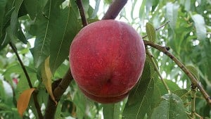 California School District Halts Chinese Peach Purchases