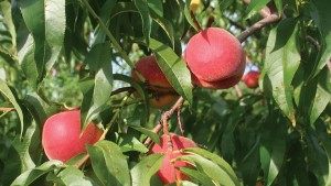Ohio Peach Growers Hope For A Better Winter This Year
