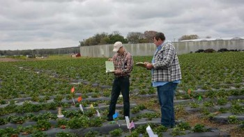 Florida organic strawberry research