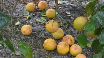 Citrus Fruit Drop in Florida grove