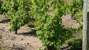 Grape Vine Pruning Workshop