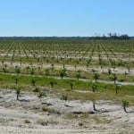 New citrus grove in Florida