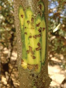 walnut injury to cambial tissues