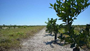 young citrus trees in a Florida grove