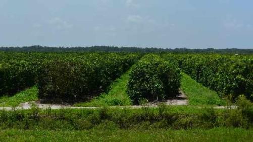 Florida's Citrus Crop Estimate Unchanged in a Tough Season