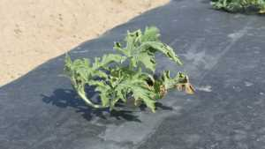 The Effect Of Soil Fertility On Fusarium Wilt In Watermelon