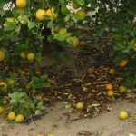 Citrus fruit drop