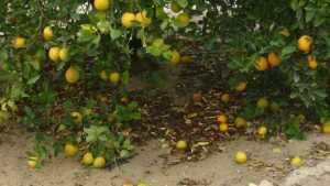 Can New Algorithm Help Solve Citrus Fruit Drop Dilemma?