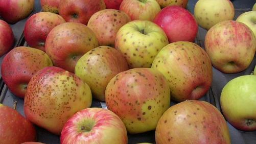 The Story Of Honeycrisp Is One Of Challenges And Success