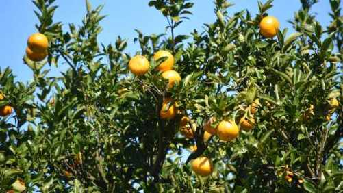 Extra Early Florida Citrus Forecast Calling For Sunshine